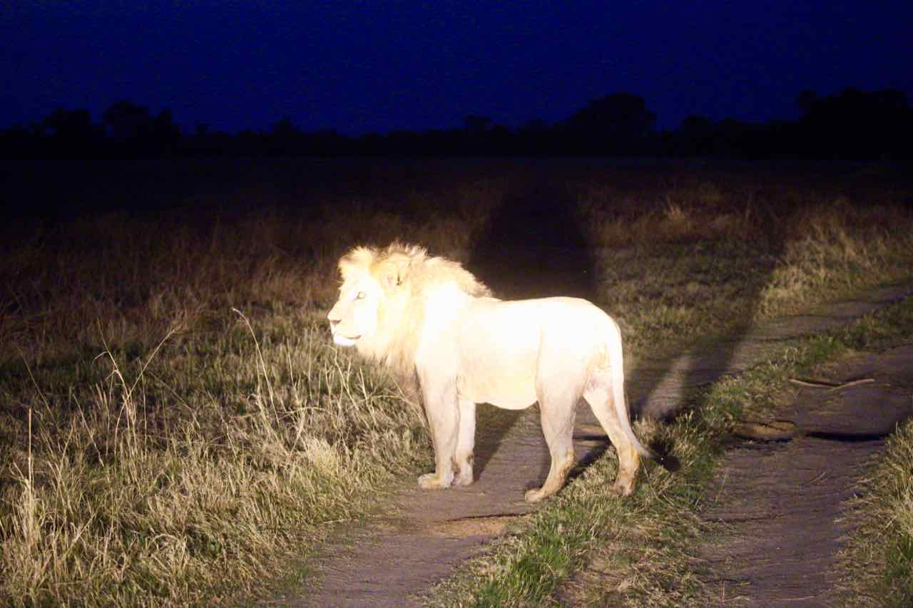 Lion in camp safari