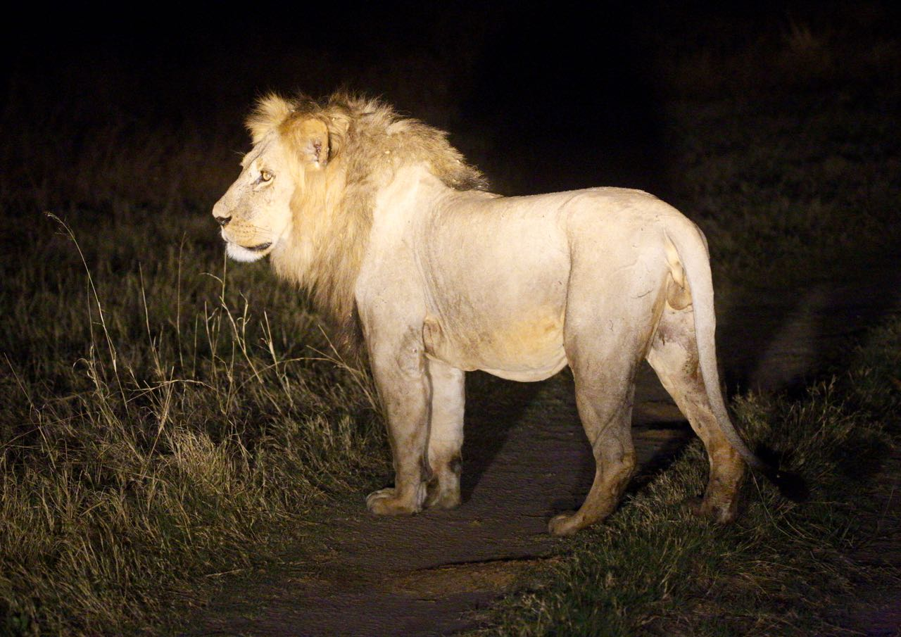 lion moremi game reserve